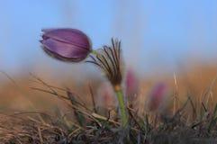 Spring flower Pasqueflower- Pulsatilla grandis Royalty Free Stock Photo