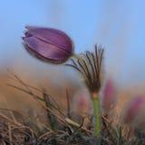 Spring flower Pasqueflower- Pulsatilla grandis, sunrise time Stock Images