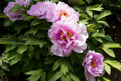 Spring flower, peony Stock Photography