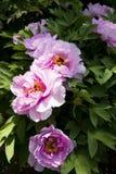 Spring flower, peony Royalty Free Stock Photos