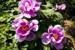 Spring flower, peony Stock Photo