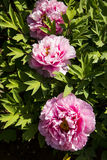Spring flower, peony Royalty Free Stock Images