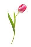 Spring flower pink tulip Royalty Free Stock Image