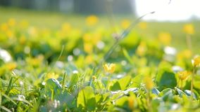 Spring flower plant green nature buttercup blossom stock video footage