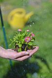 Spring flower planting Royalty Free Stock Image