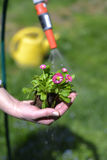 Spring flower planting Stock Photography