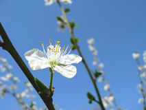Spring flower of plum tree royalty free stock images