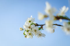 Spring flower of plum tree Stock Images