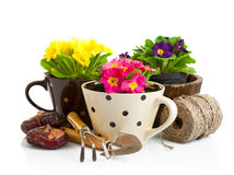 Spring flower in pot with garden tools. On white background royalty free stock images