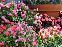 Spring Flower Pots. Masses of flowering annuals in large clay pots stock images