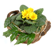 Spring, flower, primrose. Spring flower - a basket with primrose Stock Images