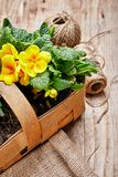 Spring flower primula in wicker basket. stock photography