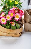 Spring flower primula in wicker basket stock images
