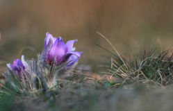 Spring flower (Pulsatilla grandis) Royalty Free Stock Photography