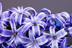 Spring flower of purple hyacinth  macro Stock Image