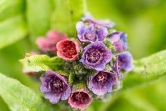 Spring flower. Purple pasque flowers on mountain stock image