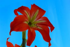 .Spring flower with red yellow petals and large pistils and stamens against the blue sky. Beautiful flower for greeting card on in stock photography