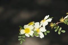 Spring flower, Rosa xanthina Royalty Free Stock Images