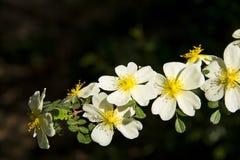 Spring flower, Rosa xanthina Stock Photo
