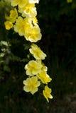 Spring flower, Rosa xanthina Stock Image