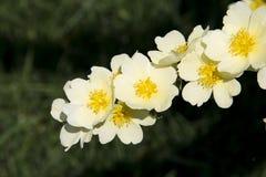 Spring flower, Rosa xanthina Royalty Free Stock Photos