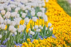 Spring flower rows stock image