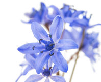 Spring flower scilla isolated Stock Photo