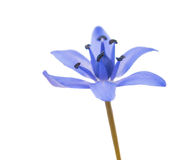 Spring flower scilla isolated Stock Photos