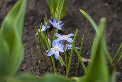 Spring flower Scilla luciliae in the garden Royalty Free Stock Photography