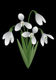 Spring flower - snowdrop Stock Images