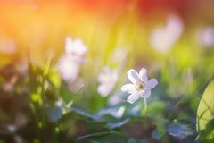 Spring flower in soft focus. Wild flowers on the field Royalty Free Stock Photography