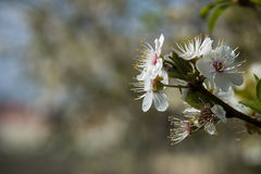 Spring flower in Spain Royalty Free Stock Image