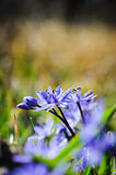 Spring flower squill or scilla Stock Image
