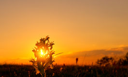 Spring flower at sunset. Stock Image
