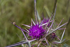 Spring flower of Thistle Royalty Free Stock Photo