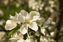 Spring flower to aple trees. Background from spring flower of the aple trees with white petal in garden Stock Images
