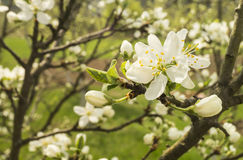 Spring flower to cherries in garden. Spring flower to cherries with white petal in rural garden Royalty Free Stock Images
