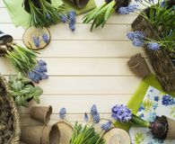 Spring. Flower transplantation. Tools for transplantation in a circle. Wooden background. Muscari, hyacinth of a gentle blue color. Colors are green, blue Royalty Free Stock Image