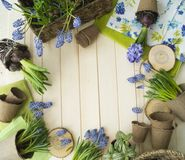 Spring. Flower transplantation. Tools for transplantation in a circle. Wooden background. Muscari, hyacinth of a gentle blue color. Colors are green, blue Stock Images