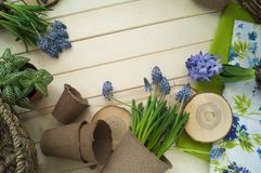 Spring. Flower transplantation. Tools for transplantation in a circle. Wooden background. Muscari, hyacinth of a gentle blue color. Colors are green, blue Stock Photos