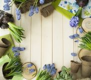 Spring. Flower transplantation. Tools for transplantation in a circle. Wooden background. Muscari, hyacinth of a gentle blue color. Colors are green, blue Royalty Free Stock Photo