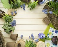 Spring. Flower transplantation. Tools for transplantation in a circle. Wooden background. Muscari, hyacinth of a gentle blue color. Colors are green, blue Royalty Free Stock Photography