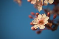 Spring flower on a tree. Delicate flower from spring on a tree Stock Photos
