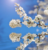 Spring flower on tree. Royalty Free Stock Image