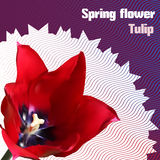 Spring flower. Tulip. Postcard for 8th of March. Postcard for International Women's Day vector illustration