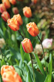 Spring Flower Royalty Free Stock Photo