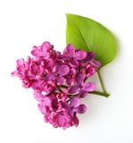 Spring flower, twig purple lilac with leaf. Stock Photos