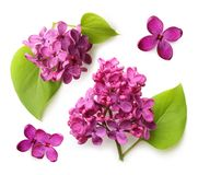 Spring flower, twig purple lilac with leaf Stock Images