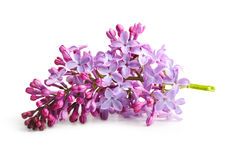 Spring flower  twig purple lilac Royalty Free Stock Image