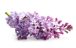 Spring flower twig purple lilac Stock Photos